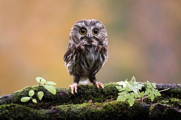 saw-whet-owl-600x400