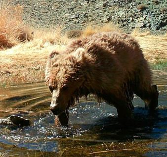 THE BEARS OF GOBI ARE DYING OFF…